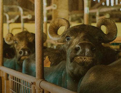 Qual a melhor opção: leite de vaca ou leite de búfala?